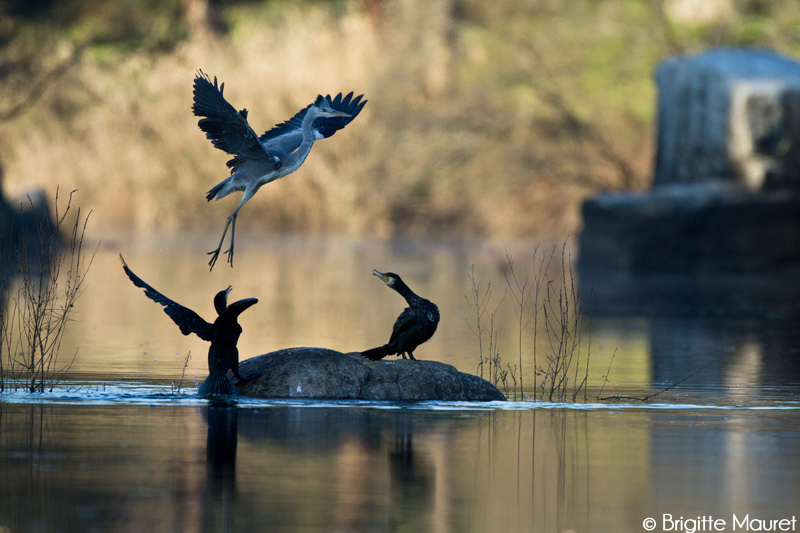 Héron cendré, cormoran
