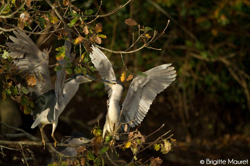 Hérons bihoreaux