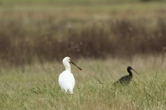 Spatule blanche- Ibis falcinelle