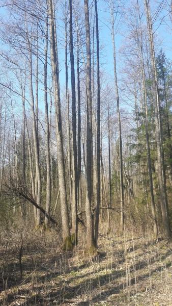 Forêt Kosy Most, Bialowieza
