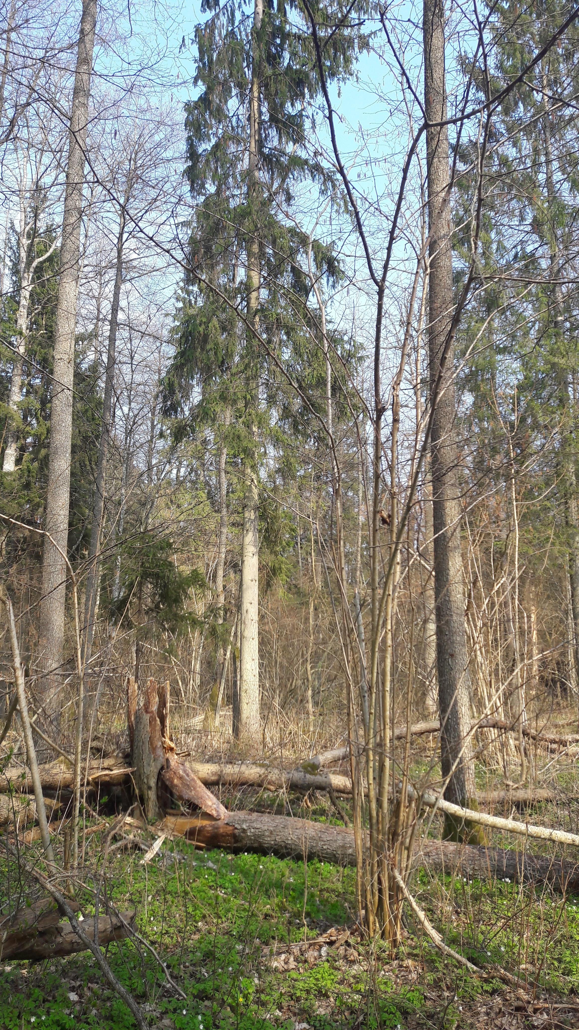 Zebra Zubra, Forêt de Bialowieza