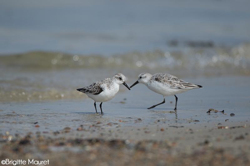 Bécasseaux sanderlings