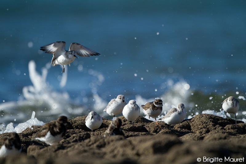 Becasseaux sanderlings