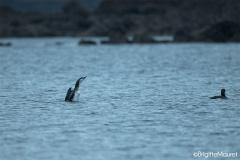 Plongeon arctique