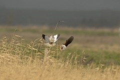 Elanion blanc - Faucon crécerelle
