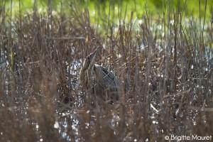 Butor étoilé, ma première rencontre dans les marais